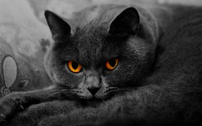 Picture cat, cat, look, face, close-up, pose, grey, portrait, lies, British, smoky, yellow eyes