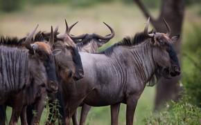 Picture look, muzzle, the herd, antelope, wildebeest