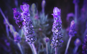 Picture macro, flowers, background, lavender