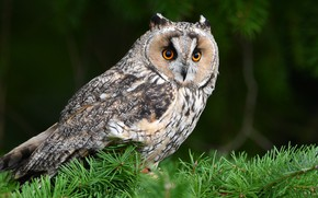 Picture look, branches, the dark background, owl, bird, needles, owl, handsome
