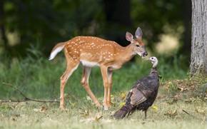 Picture forest, bird, deer, communication, Guinea fowl