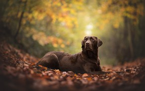 Picture autumn, look, pose, foliage, dog, brown