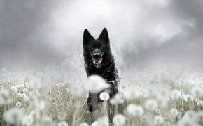 Picture summer, look, face, flowers, background, glade, dog, running, black, walk, dandelions, German shepherd