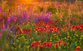 Picture field, summer, flowers, glade, Maki, meadow, red, lilac, bokeh