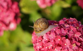 Picture summer, leaves, macro, light, flowers, snail, blur, shell, pink, bokeh, hydrangea