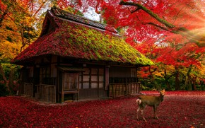 Picture roof, autumn, forest, leaves, light, trees, branches, nature, house, Park, foliage, deer, Japan, red, house, …