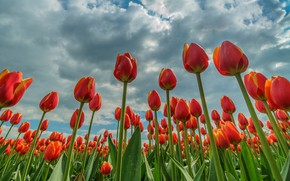 Picture field, the sky, clouds, flowers, spring, tulips, red, flowerbed, a lot, plantation