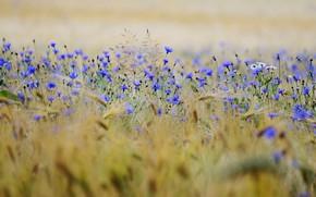 Picture field, summer, flowers, rye, chamomile, meadow, ears, cereals, blue, a lot, bokeh, cornflowers, rye field, …