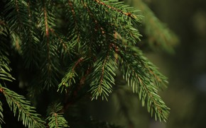 Picture trees, branches, nature, spruce
