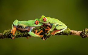 Picture two, branch, green, pair, frogs, red-eyed tree frog, tree frogs, red-eyed, the poison dart frog