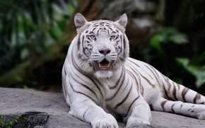 Picture white, look, face, tiger, pose, the dark background, stone, paws, mouth, lies, zoo, bokeh