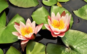Picture Flowers, flowering, Water Lily