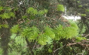 Picture macro, tree, needles, Mamala ©