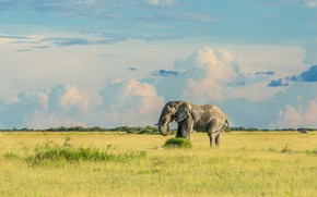 Picture field, the sky, grass, clouds, elephant, Savannah