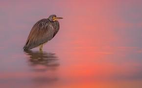 Picture nature, bird, Tri-colored Heron