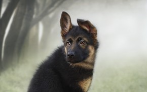 Picture look, each, puppy, German shepherd