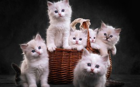 Picture look, the dark background, kitty, basket, kittens, white, kitty, company, basket, cuties, a lot, six, …
