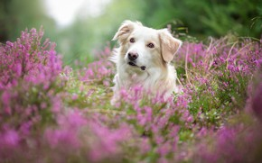 Picture forest, summer, look, face, flowers, nature, background, thickets, portrait, dog, blur, white, pink, bokeh, Heather