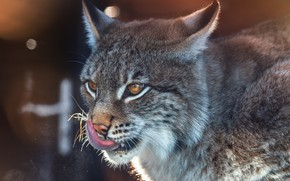 Picture language, face, lynx, wild cat, Oleg Bogdanov