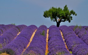 Picture tree, France, hill, lavender, plantation, Provence, Valensole