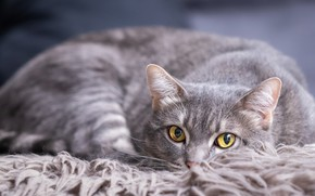 Picture cat, cat, look, face, pose, grey, background, portrait, lies, fur, smoky, yellow eyes