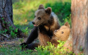 Picture forest, light, bears, pair, kids, bears, two, muzzle, sitting, brown, two of the bear
