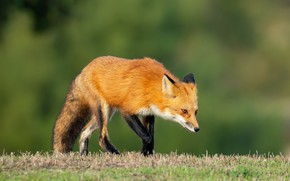 Picture grass, nature, background, Fox, red, Fox, bokeh