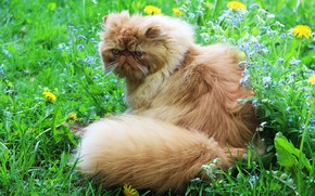 Picture greens, cat, cat, look, face, leaves, flowers, nature, pose, glade, yellow, fluffy, garden, blue, red, …