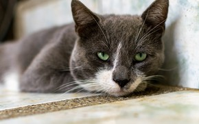 Picture cat, lies, grey