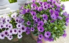 Picture flowers, lilac, osteospermum