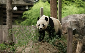Picture look, face, leaves, branches, nature, pose, posts, stone, the fence, bear, Panda, zoo, building