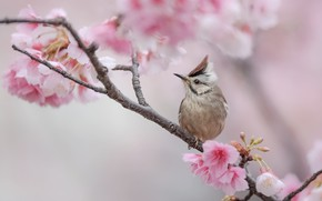 Picture flowers, bird, branch, spring, Sakura, grey, bird, flowering, crest