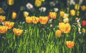 Picture flowers, glade, spring, yellow, tulips, buds, flowerbed