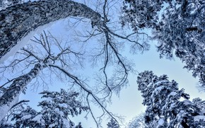 Picture winter, frost, the sky, snow, trees, branches, trunks, blue, view, pine, view, snowy