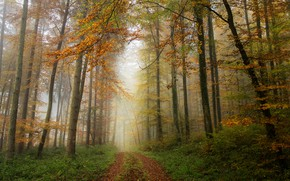 Picture road, autumn, forest, fog, foliage, track, alley, grove, path, Golden autumn