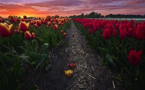Picture field, landscape, sunset, flowers, nature, track, tulips, Netherlands, Holland, plantation, boundary