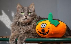 Picture cat, cat, look, grey, toy, lies, pumpkin, grey, Halloween, soft