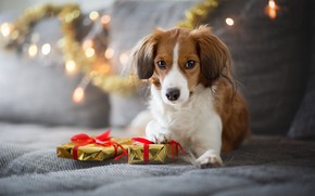 Picture winter, look, lights, pose, comfort, house, sofa, holiday, dog, lights, Christmas, gifts, New year, lies, …