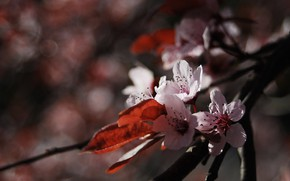 Picture flower, macro, nature, cherry, flowering, twigs