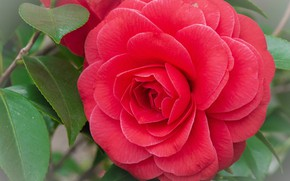Picture close-up, chic, red Camellia