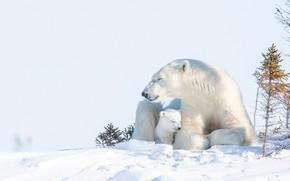 Picture winter, snow, bear, cub, bear, Polar bears, Polar bears