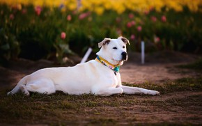Picture flowers, glade, dog, spring, garden, tulips, lies, white, weed, Labrador, lawn