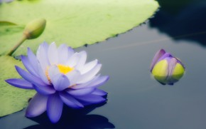 Picture flower, blue, Water Lily