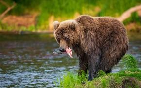 Picture water, nature, animal, fish, predator, bear, catch