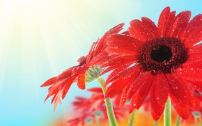 Picture drops, flowers, petals, gerbera