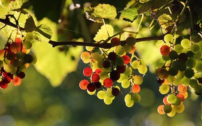 Picture leaves, light, web, fruit, grapes, vineyard, different, bunches, hang