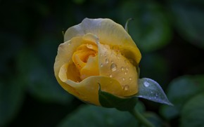 Picture drops, yellow, rose, Bud