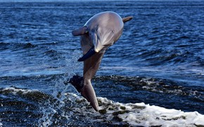 Picture sea, Dolphin, jump