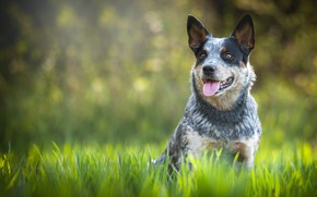 Picture language, summer, grass, look, nature, pose, background, glade, dog, sitting, bokeh, spotted, Australian Heeler, cattle …