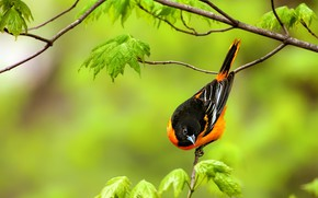 Picture leaves, branches, background, bird, Baltimore colored troupial, Baltimore Oriole